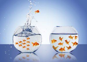 Goldfish jump into the aquarium with water.